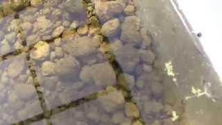 世界最小ミジンコ浮草 仁丹藻 みじんこ 繁殖