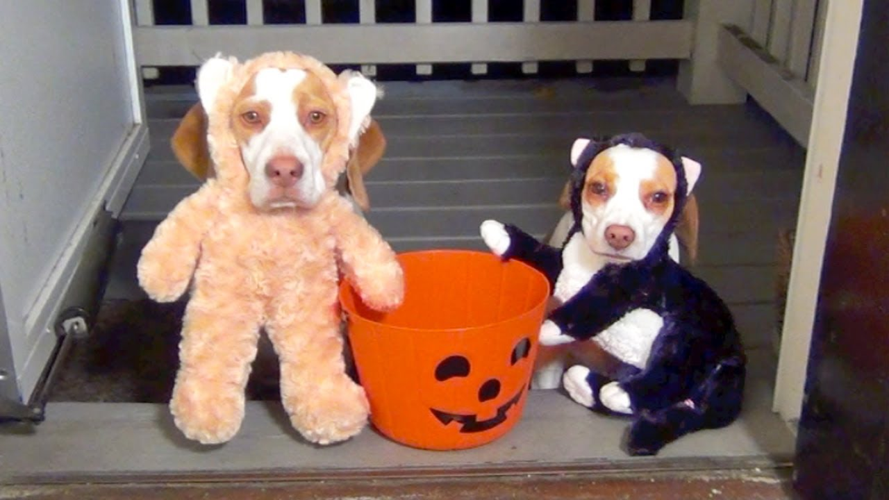 Dogs Go Trick Or Treating On Halloween Cute Dog Maymo Puppy Penny