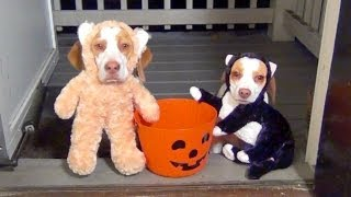 Dogs Go Trick or Treating on Halloween:  Cute Dog Maymo & Puppy Penny
