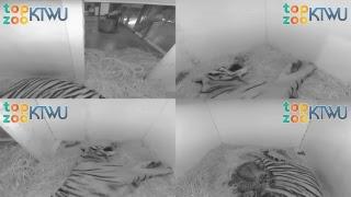 Tiger Birth Cam 1 #TopZooKTWU