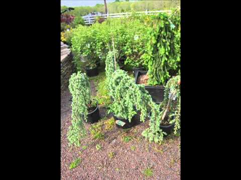 Great trees for landscaping weeping evergreens youtube for Great small trees for landscaping