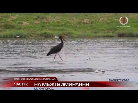 В Закарпатських лісах зникають рідкісні чорні лелеки