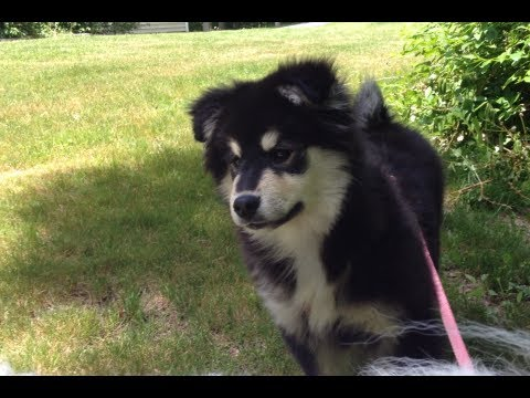 Ellie, Finnish Lapphund Puppy