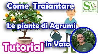 Download lagu Guida al trapianto e alla coltivazione di piante di agrumi in vaso