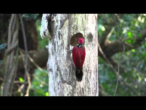 Luzon Flameback Builds a New Home