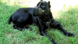 Cane Corso And Other Canines In Training Leather Dog Muzzle