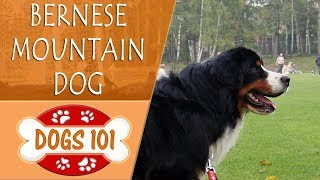 Dogs 101 - BERNESE MOUNTAIN DOG - Top Dog Facts About the BERNESE MOUNTAIN DOG