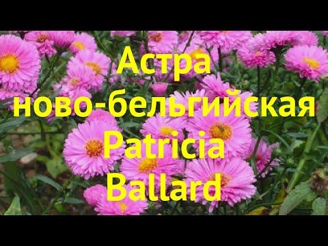 Астра новобельгийская Патриция Баллард. Краткий обзор, описание Aster Novi-belgii Patricia Ballard