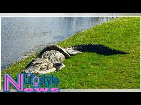 Alligator vs. burmese python: florida man snaps photos of 2 reptiles fighting