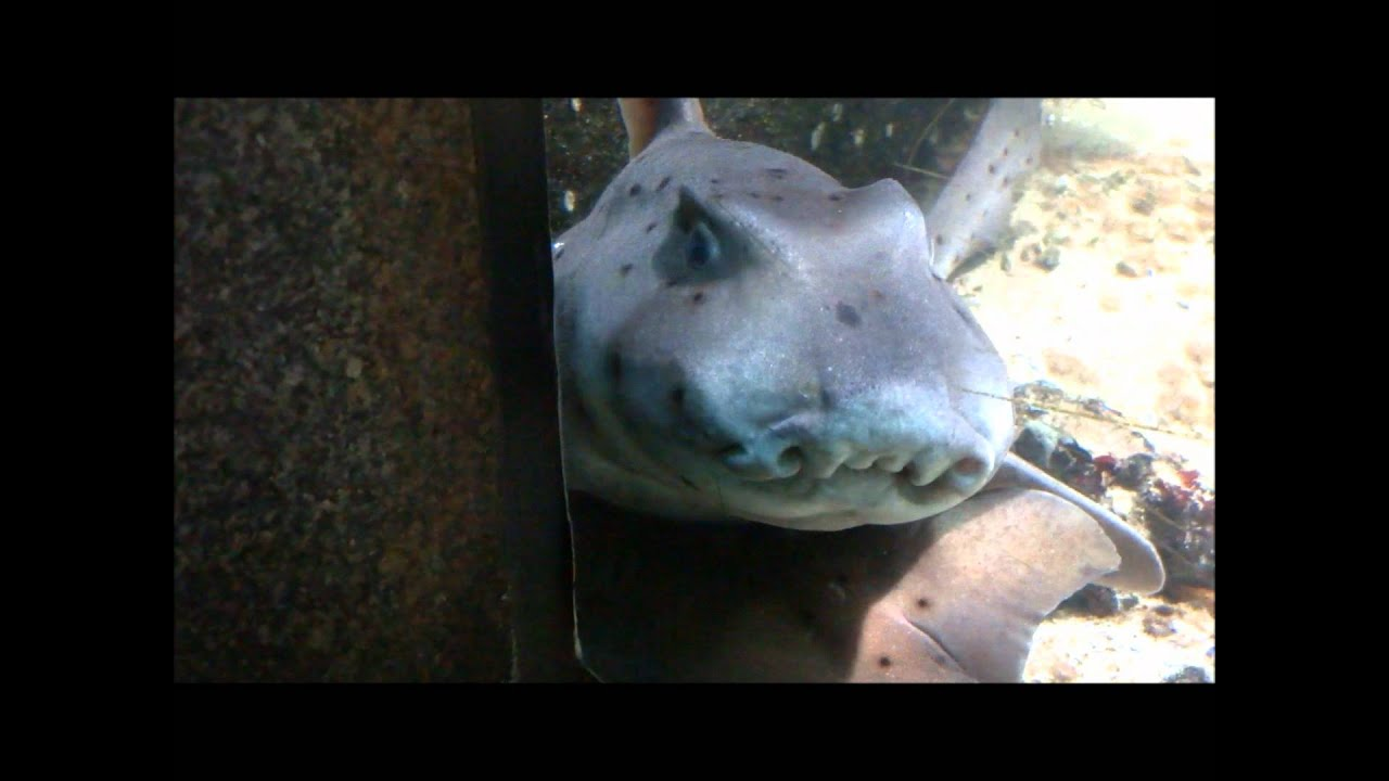 Ugliest Pig In The World Ugliest Shark in the W...