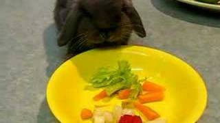 """Our Mini Lop Rabbit """"Sooty"""""""