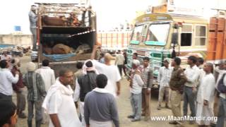 7 Trucks (490 Cows) Rescued by Police in Bulandshehar...(PART-2)
