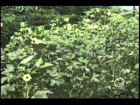 PLANTAÇÃO QUIABO - YouTube