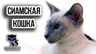 Сиамские кошки / Интересные факты о кошках