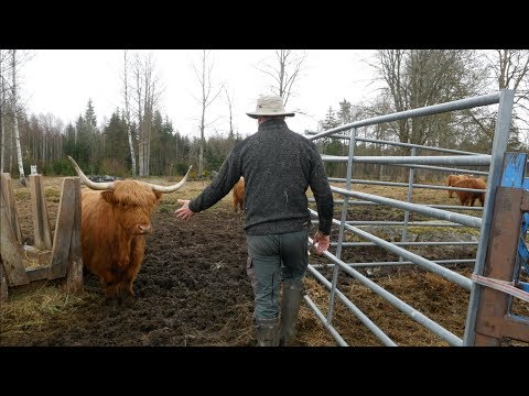 How To Handle A Highland Bull