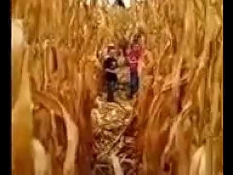 Corn Maze Crazy