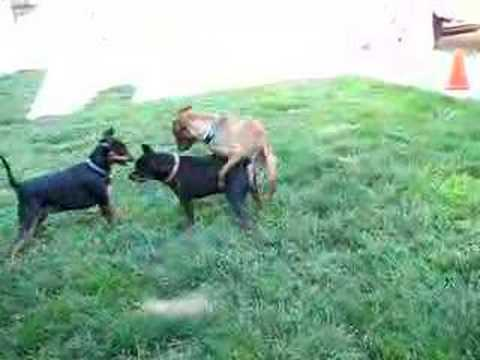 Min Pins Dogs playing...