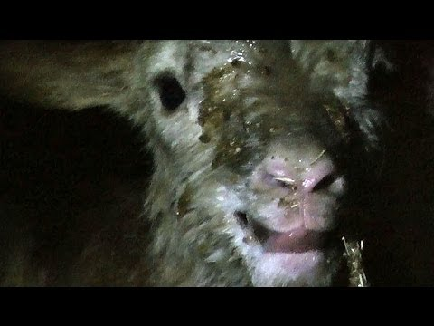 amazing-~-the-1st-seconds-of-life-of-a-hybrid-lamb