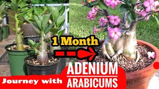 Follow these Method & Get Divine Looking Arabicums    Perfect Way to grow & care Adenium Arabicums  
