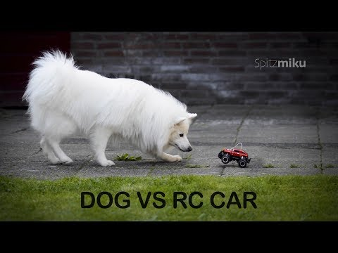 DOG VS R.C. CAR