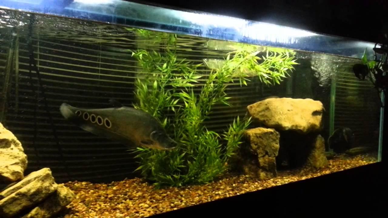 Freshwater aquarium knife fish - Freshwater Aquarium Knife Fish