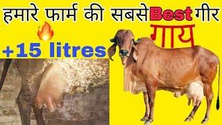 हमारे फार्म की सबसे best गीर नस्ल की गाय    For Gujarat