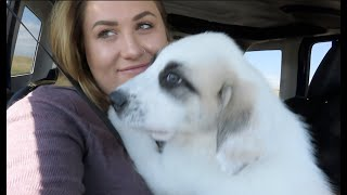 Bringing Home Our Great Pyrenees PUPPY!