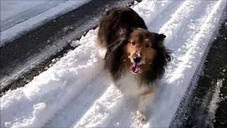 Shetland Sheepdog pastore dello shetland.