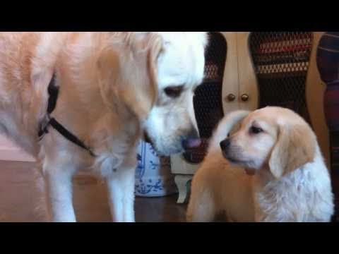 Golden retriever puppy meets his brother for the first time