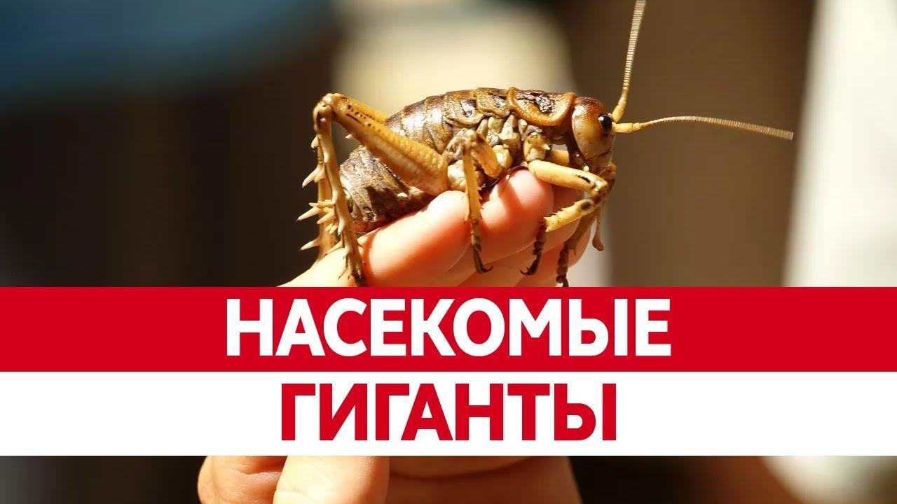 Самые БОЛЬШИЕ НАСЕКОМЫЕ. Гигантские и опасные насекомые хищники!