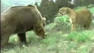 قتال بين نمر ودب