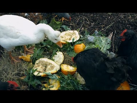 Cut Chicken Feed Costs 100% - 20 Creative Ways