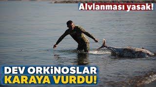 Bursa'nın Karacabey İlçesinde Sahile Ölü Orkinos Balıkları Vurdu