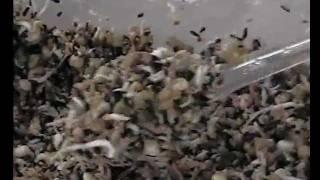 Goldfinch foods(eggfood,mealworms)