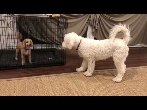 Cute Poochon Dogs ready to Play