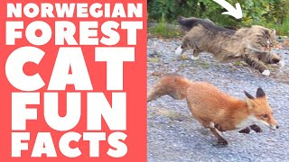 Norwegian Forest Cats 101 : Fun Facts