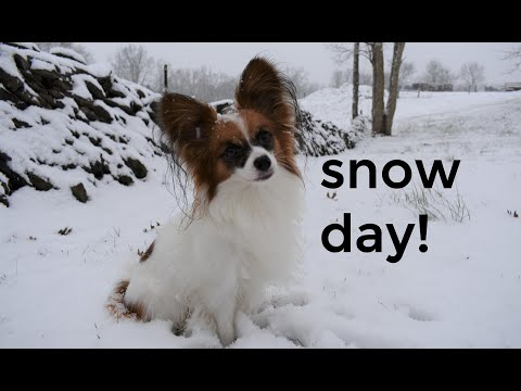 Percy the Papillon Dog: Snow Day!