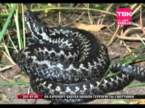 Укусы ядовитых змей - первая помощь при укусе змеи/гадюки