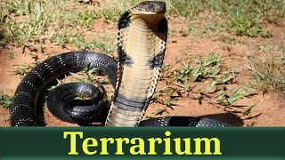 Королевская кобра, или гамадриад (лат. Ophiophagus hannah)
