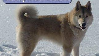 сибирская лайка