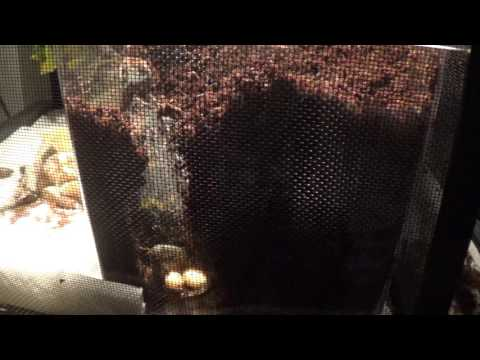 Female Veiled Chameleon Laying Eggs continued