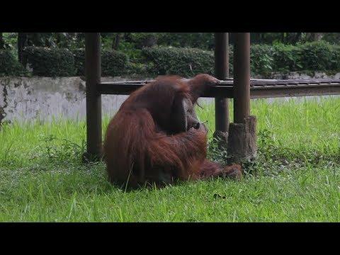 Orangutan smokes cigarette at Indonesian zoo, shocking activists