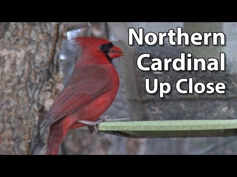 About the Northern Cardinal