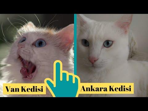 Turkish Angora Cat VS Turkish Van Cat (Ankara Kedisi İle Van Kedisinin Farkı)