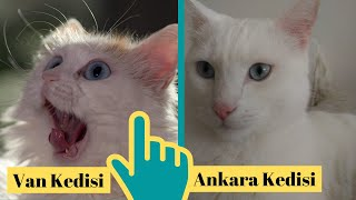 Turkish Angora Cat VS Turkish Van Cat (Ankara Kedisi İle Van Kedisinin Farkı)