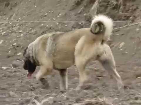 kangal samsun  KARABEY DOMUZ AVI ÖNCESİ