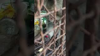 Nhăn khư khỉ ăn ớt là có thật các bác ạ.