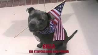 Happy 4th Of July : Staffordshire Bull Terrier Dog Waves The Flag