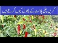 why Green chili Flowers fall Chilli care