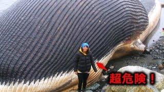 【驚愕】超危険・・・座礁したクジラにあったらすぐに逃げて! thumbnail